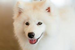 Perrito blanco del perro del samoyedo Fotografía de archivo