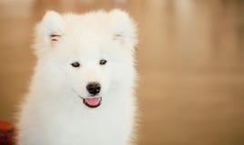 Perrito blanco del perro del samoyedo Fotos de archivo libres de regalías