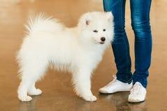 Perrito blanco del perro del samoyedo Imagenes de archivo