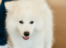 Perrito blanco del perro del samoyedo Imagen de archivo libre de regalías