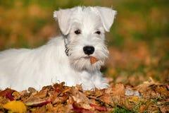 Perrito blanco del Schnauzer miniatura Fotos de archivo