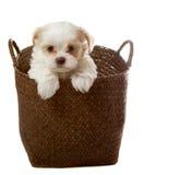 Perrito blanco en cesta Foto de archivo libre de regalías