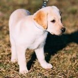 Perrito blanco hermoso del labrador retriever del laboratorio del perro Foto de archivo