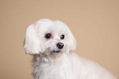 Perrito blanco lindo que presenta en el estudio - perro maltés Imagen de archivo libre de regalías