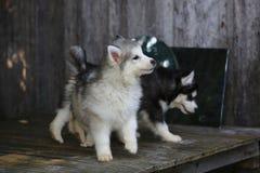 Perrito blanco mullido del samoyedo Fotografía de archivo libre de regalías