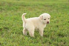 Perrito blanco que explora Imagen de archivo