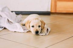 Perrito blanco Sit On Floor del labrador retriever Imágenes de archivo libres de regalías