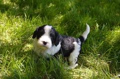 Perrito blanco y negro imagen de archivo libre de regalías