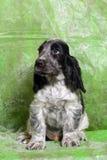Perrito blanco y negro de cocker spaniel del inglés Foto de archivo libre de regalías