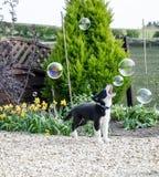 Perrito blanco y negro del border collie que juega con las burbujas Foto de archivo