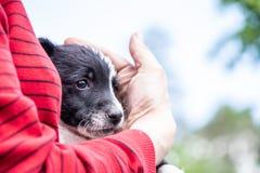 Perrito blanco y negro en las manos de una mujer fotos de archivo