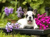 Perrito blanco y negro hermoso del dogo Imagen de archivo libre de regalías