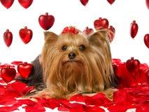 Perrito bonito de Yorkie con los pétalos color de rosa y los corazones Foto de archivo libre de regalías