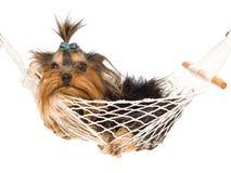 Perrito bonito de Yorkie dentro de la mini hamaca Imagen de archivo libre de regalías