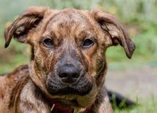 Perrito Brindled del perro de Plott Imagenes de archivo