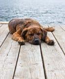 Perrito Brindled del perro de Plott Fotografía de archivo