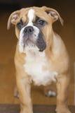Perrito británico del dogo Imagen de archivo libre de regalías