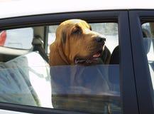 Perrito caliente atrapado en coche caliente Imagen de archivo