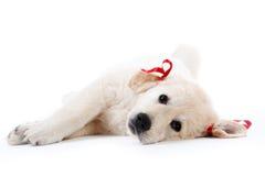 Perrito cansado del perro perdiguero que se reclina con los arqueamientos rojos Foto de archivo