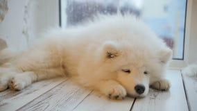 Perrito cansado del samoyedo el dormir que miente en el piso metrajes
