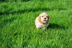 Perrito cocker spaniel que corre a lo largo de la hierba verde imagen de archivo