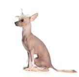 Perrito con cresta chino Imágenes de archivo libres de regalías