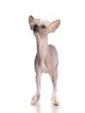 Perrito con cresta chino Fotos de archivo