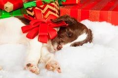Perrito con el arco rojo que duerme en la piel por los regalos Foto de archivo libre de regalías