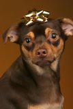 Perrito con el arqueamiento Imagen de archivo libre de regalías