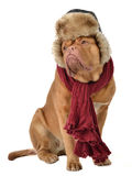 Perrito con el casquillo con solapas del oído y una bufanda fotografía de archivo