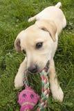 Perrito con el juguete del chew Fotografía de archivo libre de regalías