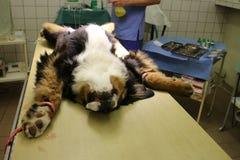 Perrito con hernia umbilical Fotos de archivo