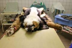 Perrito con hernia umbilical Imagen de archivo