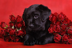 Perrito con las rosas Imagenes de archivo