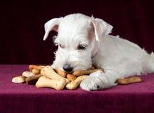 Perrito con los huesos de las galletas de perro Imagen de archivo libre de regalías