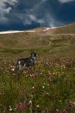 Perrito con los wildflowers de la montaña Fotografía de archivo libre de regalías