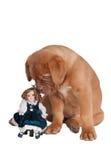 Perrito con una muñeca Fotos de archivo