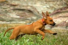 Perrito corriente feliz Foto de archivo libre de regalías