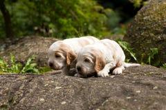 Perrito criado en línea pura de cocker spaniel de dos pequeño ingleses Imagen de archivo