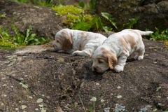 Perrito criado en línea pura de cocker spaniel de dos pequeño ingleses Foto de archivo libre de regalías