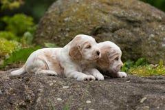 Perrito criado en línea pura de cocker spaniel de dos pequeño ingleses Imagenes de archivo