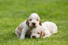 Perrito criado en línea pura de cocker spaniel de dos pequeño ingleses Fotografía de archivo libre de regalías