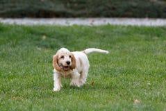 Perrito criado en línea pura de cocker spaniel del inglés fotos de archivo libres de regalías
