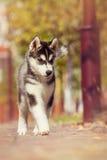 Perrito criado en línea pura del husky siberiano Fotos de archivo
