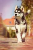 Perrito criado en línea pura del husky siberiano Imágenes de archivo libres de regalías