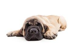 Perrito criado en línea pura soñoliento del mastín sobre blanco foto de archivo libre de regalías