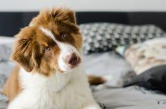 Perrito curioso del pastor australiano foto de archivo