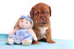 Perrito Cute Dogue De Bordeaux Imágenes de archivo libres de regalías