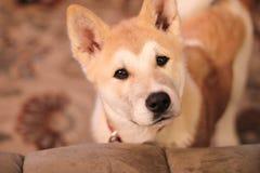 Perrito de Akita Fotografía de archivo