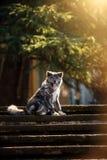 Perrito de Akita del americano que se sienta en las escaleras imagen de archivo libre de regalías